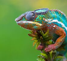 Panther chameleon outside by AngiNelson