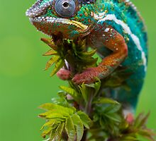 The chameleon by AngiNelson