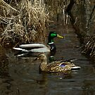 Mallards by Sally Winter