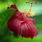 Hibiscus by Emma Sterling