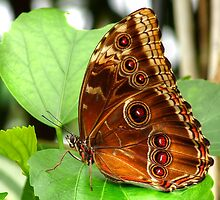 Blue Morpho Butterfly by HJIrvine