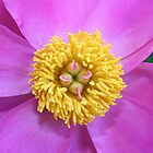 Pink and Yellow Peony by DebbieCHayes