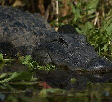 American Alligator - headshot by JimSanders