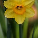 Narcissus by Jcook