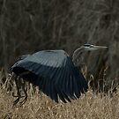 Great Blue Heron in flight by JimSanders