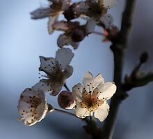 Cherry Blossom by Ian Sanders