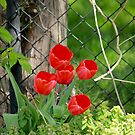 Tulips by Kathy Nairn