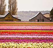 The famous barns at Tuliptown, Skagit Valley, WA by Barb White