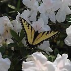 Swallowtail on my azaelias by Oldcowgirl
