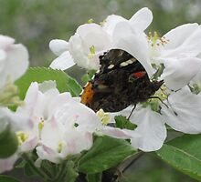 Red Admiral on apple blossoms 3 by Ray Vaughan