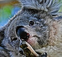 Koala at Phillip Island by Tom Newman