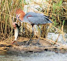 """THE GOLIATH HERON - Ardea goliath and the """"Tiger Fish"""" 1 by Magaret Meintjes"""
