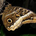 Owl Butterfly by Jamaboop