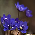 Sinivuokko (Hepatica nobilis) by Chrisseee