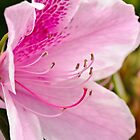 Fresh Pink Azalea by Jim Haley