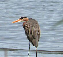 Blue Heron by Gail Bridger
