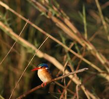 Natures Fashion show- Kingfisher Chobe National Park by Ouzopuppy