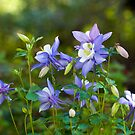 Beautiful Columbine by Monica M. Scanlan