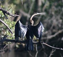 Hanging out the Wings - A Cormorant, Chobe National Park by Ouzopuppy