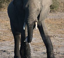 Catching Water- Elephant Chobe National park by Ouzopuppy