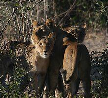 Look Mum, Breakfast!!- Lions Chobe National Park by Ouzopuppy