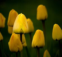 Tulips and a Daffodil by Charles Plant
