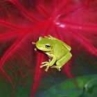 A tree frog on a big red leaf by Steven Guy
