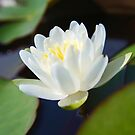 Water Lilly by Susan Brown