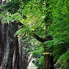 Mt Wilson NSW - Autumn Avenue by Bev Woodman
