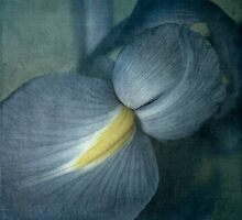 Faded Dutch Iris by Lydia Marano