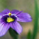 blue eyed grass by Miriam Gordon