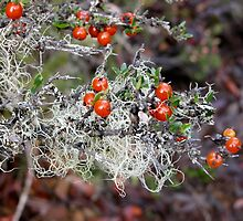 White Lichen and Shining Coprosma,Cradle Mountain,Tasmania, Australia. by kaysharp