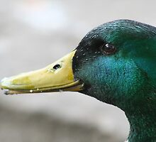 What's Up Duck? by Mandy Kerr