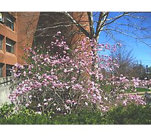Pink Magnolias at Hyde Hall, Plymouth State University Photographic Print