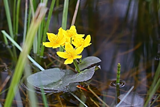 Marsh Marigolds by Teresa Zieba