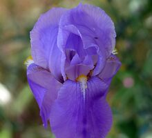 Wild Iris, captured on 29 April 2010 by presbi