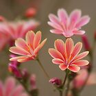 Three Pink Beauties by CarolM
