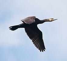 Cormorant in Flight by Nigel Bangert