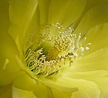 Trichocereus Sunflower by Linda Sparks
