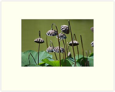 Lotus flower seed pods growing in pond (Japanese Garden) by Meeli Sonn