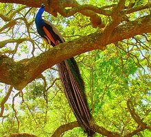 Peacock Sitting In An Oak Tree by Wanda Raines