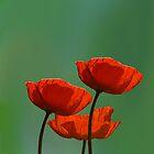 bloodred poppys by Anne Seltmann