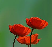 bloodred poppys by Anne Seltmann
