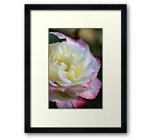 Rose Time- Double Delight Framed Print