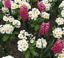 Deep Pink Hyacinths and White Primroses by BlueMoonRose
