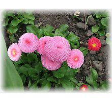 Pretty in Pink - Delightful Double Daisies Photographic Print