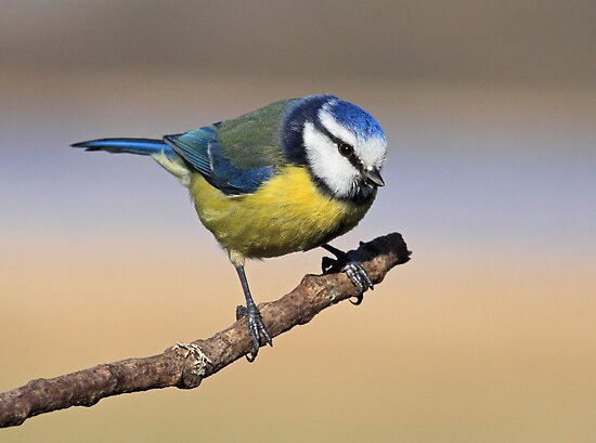 Blue tit by Grant Glendinning