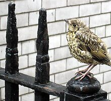 116 - BABY THRUSH (D.E. 2010) by BLYTHPHOTO