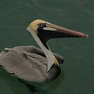 Brown Pelican w/ watercolour filter by JimSanders