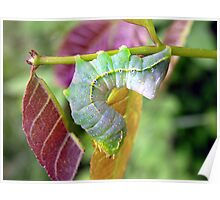 Arched In Rainbow (Copper Underwing Caterpillar) Poster